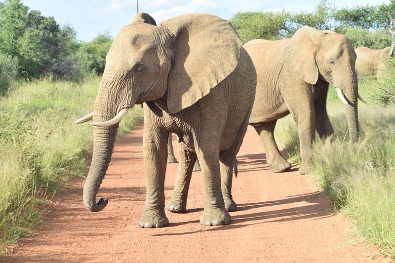 Drambliai Pilanesbergo nacionaliniame parke. ASMENINIO ARCHYVO nuotr.
