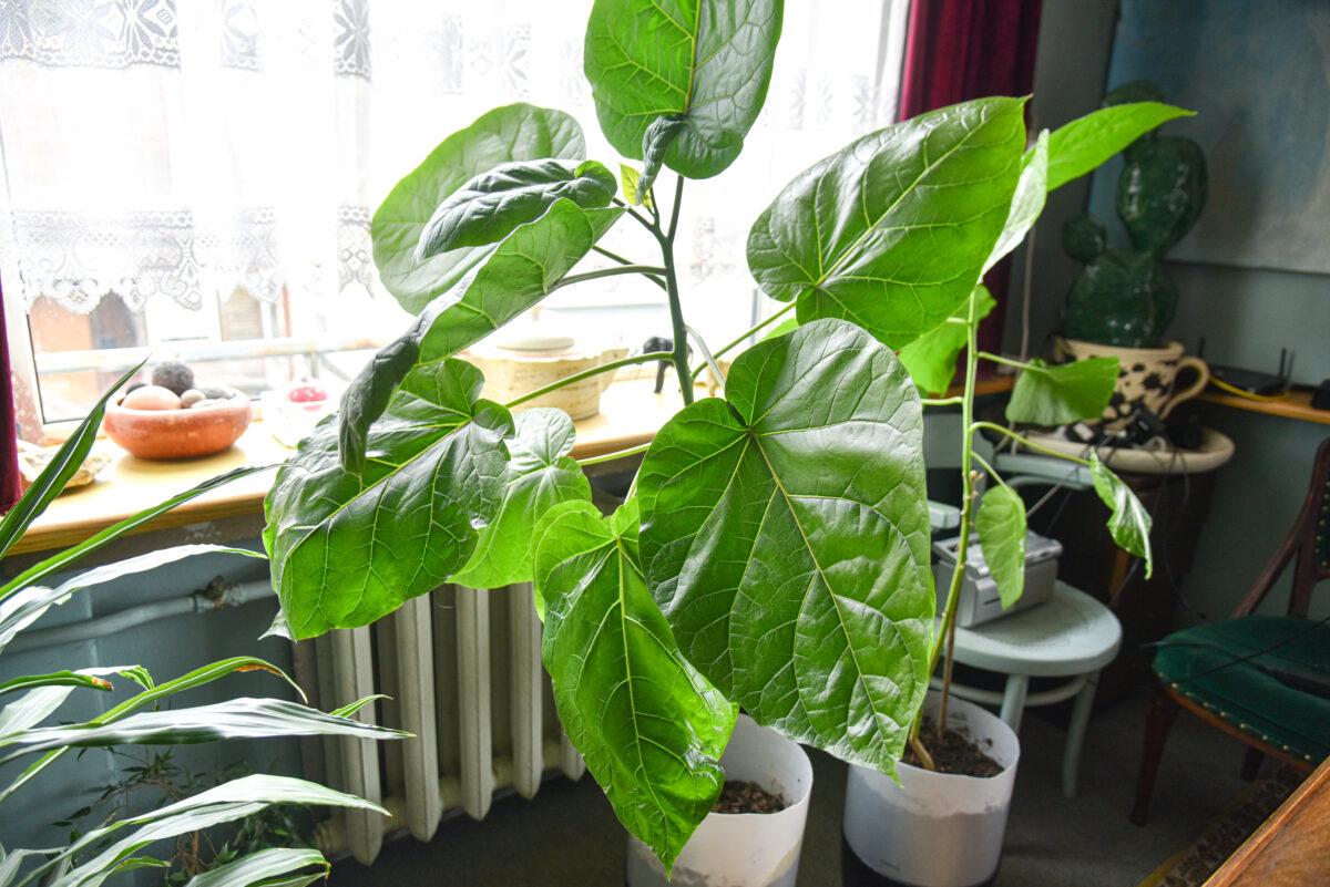 Kažkada didžiausią šalyje retų valgomų augalų mėgėjišką sodą turėjęs keramikas A. Jonušis ir dabar eksperimentuoja su augalais. P. Židonio nuotr.